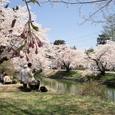 新庄城跡、満開の桜 2006年5月