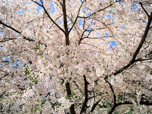 立石寺(山寺)の桜 2006年5月