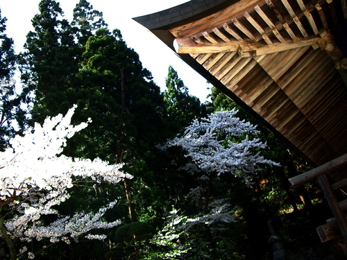 根本中堂と桜