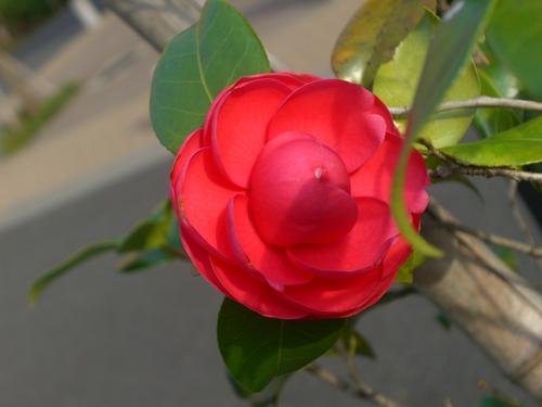 2008-04-05 椿(赤)