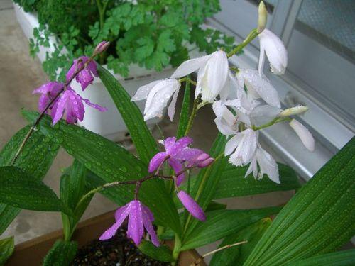 シラン -   紫蘭 2種