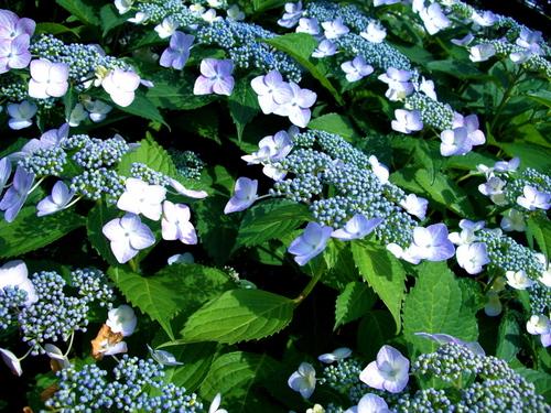 梅雨も近い。。。萼(がく)紫陽花