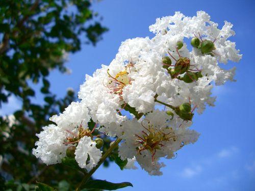 サルスベリ(百日紅) 白
