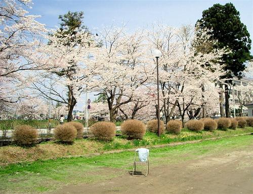 ソメイヨシノ満開 2007年 GW #5