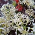 spider lily - 白と赤の彼岸花(曼珠沙華)